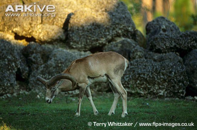 Armenian Mouflon