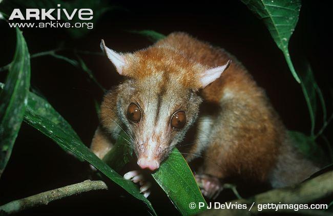 Woolly Opossum