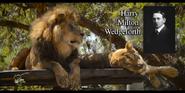 San Diego Zoo Lion