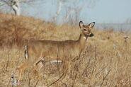 White-Tailed Deer (Doe)