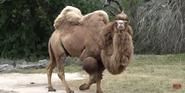 Zoo Miami Camel