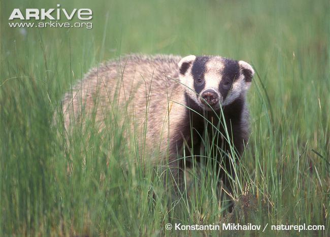Asian Badger