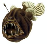 Anglerfish, Humpback