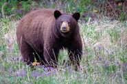 Cinnamon bear (Ursus americanus cinnamomum)