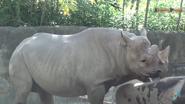 Columbus Zoo Rhino (V2)