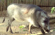 Okland Zoo Warthog