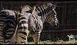 Taronga Zoo Zebras