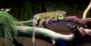Canberra Zoo Iguana