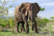 Elephant, South African Bush