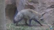 Fort Wayne Children's Zoo Bat-Eared Fox