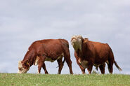 Hereford Bull and Cow