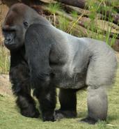 LA Zoo Gorilla