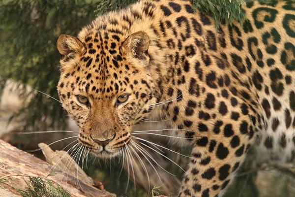 Barbary Leopard