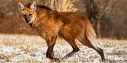 Maned Wolf.jpg
