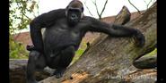 Pittsburgh Zoo Gorilla