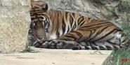 San Antonio Zoo Tiger