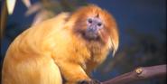 Akron Zoo Tamarin