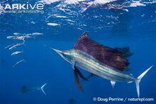 Atlantic-sailfish-hunting-sardine.jpg
