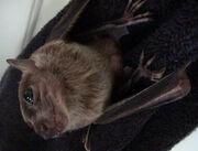 Bat, Egyptian Fruit.jpg