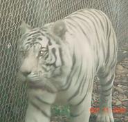 Birmingham Zoo White Bengal Tiger