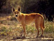 Dingo 514 600x450