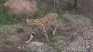 Fort Wayne Children's Zoo Serval