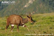 Male-bushbuck-walking