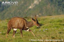 Male-bushbuck-walking.jpg