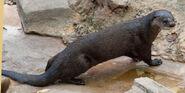 North American River Otter (V2)