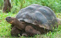 Santa Cruz Island Tortoise.jpg