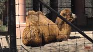 Toronto Zoo Camel