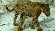 160204205730-jaguar-ocelots-arizona-exlarge-169
