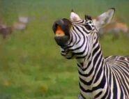 BEBN Chapman's zebra