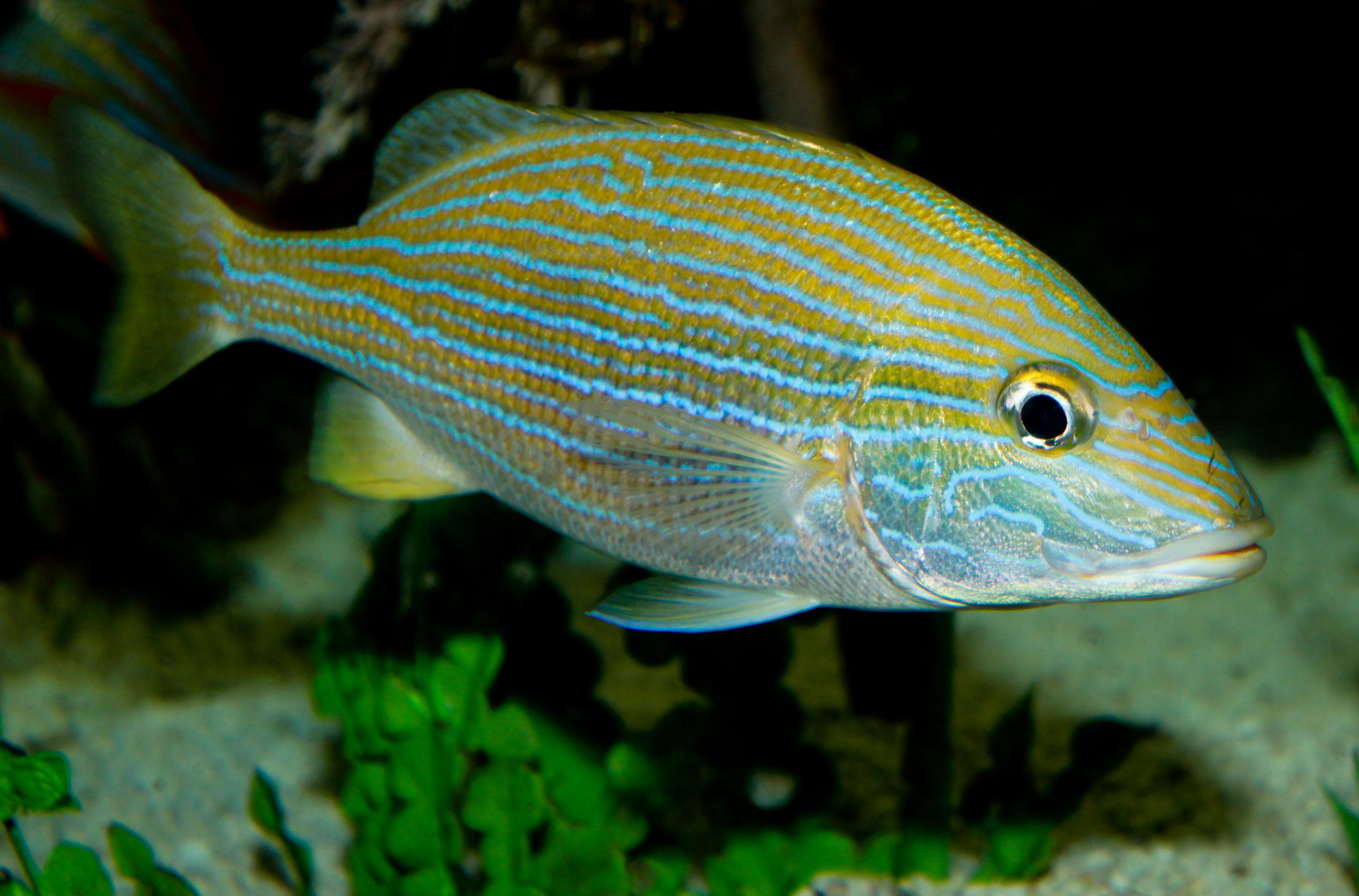 Blue-Striped Grunt