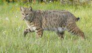 Bobcat, Southwestern