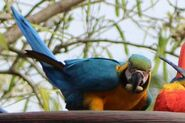 DAK Blue and Gold Macaw