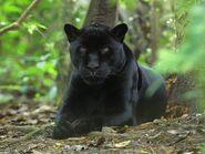 Leopard, African Black