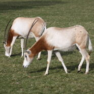 Male and Female Scimitar-Horned Oryxes