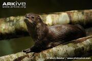 Neotropical-otter-resting.jpg
