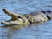 Nile Crocodile, Malagasy