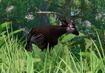 Okapi-planet-zoo