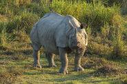 Rhinoceros, Indian