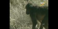 Scout's Safari Baboon