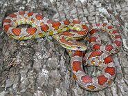 Snake, Corn