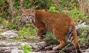 Southwestern Bobcat