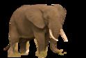 African Bush Elephant (No Background)