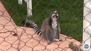 Columbus Zoo Ring-Tailed Lemur (V2)