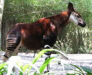 DAK Okapi (V2)