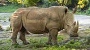 DAK White Rhinoceros