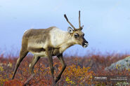 Female Caribou